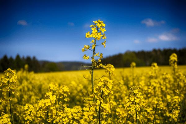 fleur colza production biofioul